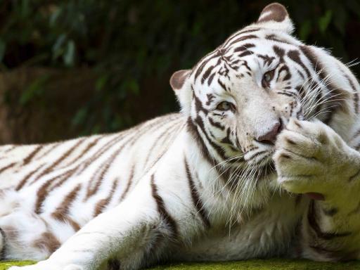 Tiger - Loro Parque Tickets