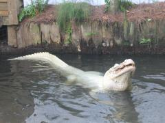 feros the white gator gatorland