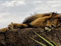 Lion Sleeping at Disney World's Animal Kingdom